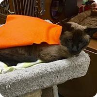 Siamese Cat for adoption in Morgan Hill, California - Spock
