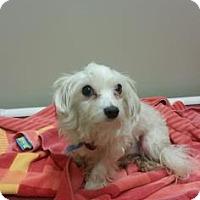 Adopt A Pet :: Popcorn - Philadelphia, PA