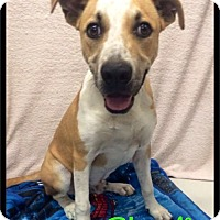 Adopt A Pet :: Charlie - 538 / 2016 - Maumelle, AR
