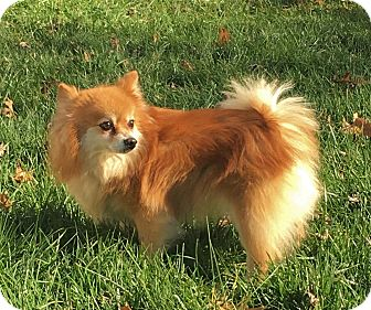 Pomeranian Dog for adoption in Wooster, Ohio - PIXIE