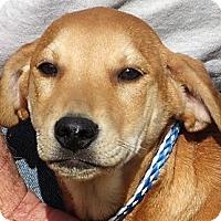 Labrador Retriever/Hound (Unknown Type) Mix Puppy for adoption in Germantown, Maryland - Madison