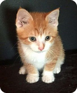 Domestic Shorthair Kitten for adoption in Greenfield, Indiana - Butterscotch