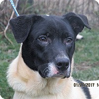 Labrador Retriever/Pointer Mix Puppy for adoption in Germantown, Maryland - Wagner