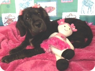 Spaniel (Unknown Type)/Labrador Retriever Mix Puppy for adoption in Salem, New Hampshire - Missy