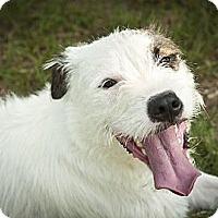 Adopt A Pet :: Joe Joe - Kingwood, TX