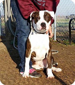 Pit Bull Terrier Mix Dog for adoption in Lemoore, California - Gambit