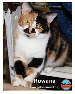 Domestic Shorthair Cat for adoption in South Bend, Indiana - Rowana