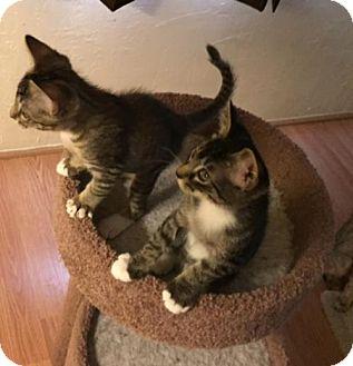 Domestic Shorthair Kitten for adoption in Glendale, Arizona - Baxter