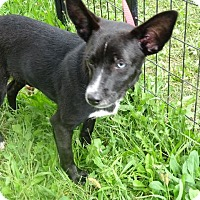 Rat Terrier Mix Puppy for adoption in Delaware, Ohio - Sean