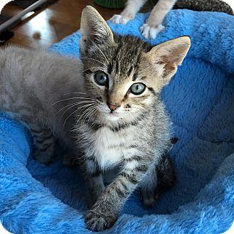 Domestic Shorthair Kitten for adoption in Fort Worth, Texas - Felix