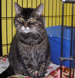 Domestic Shorthair Cat for adoption in Sunrise Beach, Missouri - Angie