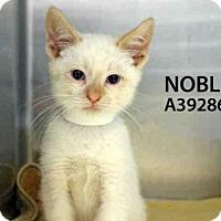Adopt A Pet :: NOBLE - San Francisco, CA