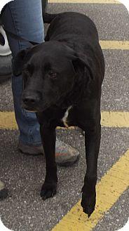 Labrador Retriever Mix Dog for adoption in Cheboygan, Michigan - Riley