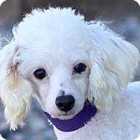 Toy Poodle Dog for adoption in Colorado Springs, Colorado - Freckles