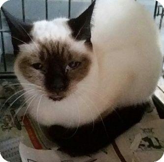 Siamese Cat for adoption in Ocala, Florida - Cleopatra
