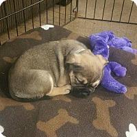 Pug Puppy for adoption in Gardena, California - Dak