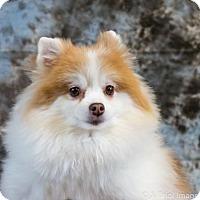Adopt A Pet :: Peyton D3402 - Shakopee, MN