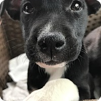 Adopt A Pet :: Dakota - Nashville, TN