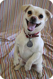 Pug/Chihuahua Mix Dog for adoption in Scottsdale, Arizona - Nugget