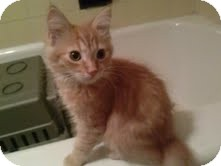 Domestic Shorthair Kitten for adoption in Brooklyn, New York - Floyd