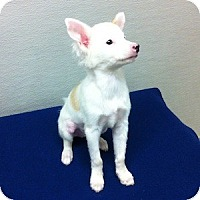 Adopt A Pet :: Marshmallow - Gilbert, AZ
