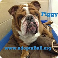 Adopt A Pet :: Piggy - Chicago, IL