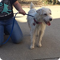 Adopt A Pet :: Polly - Fort Worth, TX
