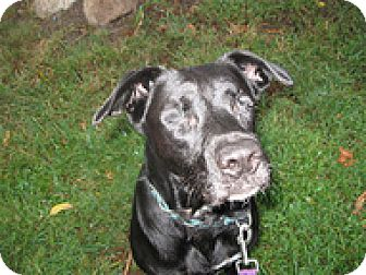 Labrador Retriever/Pit Bull Terrier Mix Dog for adoption in Spring City, Tennessee - Rayce