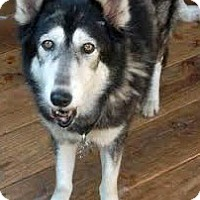 Adopt A Pet :: Amaya - Clearwater, FL