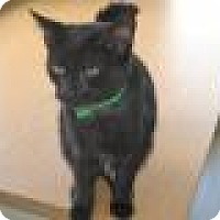American Shorthair Kitten for adoption in East Smithfield, Pennsylvania - Rose