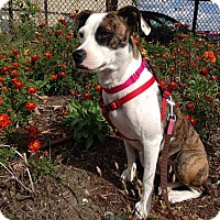 Adopt A Pet :: Sierra - Boston, MA