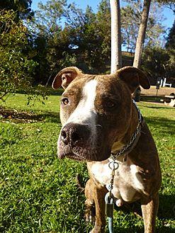 American Staffordshire Terrier/Mastiff Mix Dog for adoption in Los Angeles, California - MARLEY - COURTESY