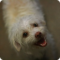 Adopt A Pet :: Marcy - Canoga Park, CA