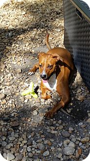 Boxer/Rhodesian Ridgeback Mix Dog for adoption in Palmetto Bay, Florida - Zena