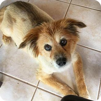 Sheltie, Shetland Sheepdog Mix Dog for adoption in Arlington, Virginia - Cassie