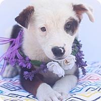 Adopt A Pet :: Bear - Loomis, CA