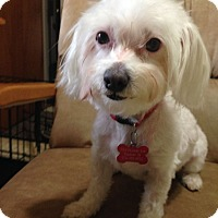 Adopt A Pet :: Chicklet - Elkhart, IN
