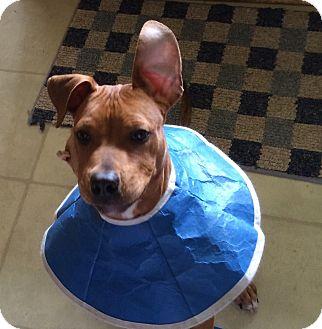Labrador Retriever/Pit Bull Terrier Mix Puppy for adoption in Ypsilanti, Michigan - Rusty