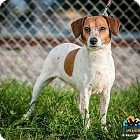 Adopt A Pet :: Lacy - Evansville, IN