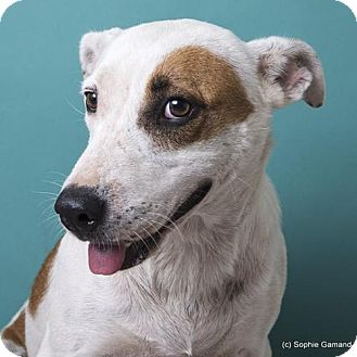 Jack Russell Terrier/Labrador Retriever Mix Dog for adoption in Anniston, Alabama - Baby Doll