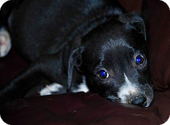 Labrador Retriever Mix Puppy for adoption in East Windsor, Connecticut - Ringo-ADOPTION PENDING