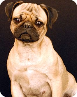 Pug Dog for adoption in Newland, North Carolina - Baby