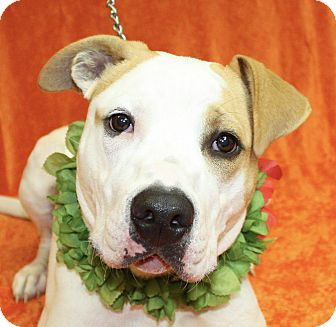 Pit Bull Terrier Mix Dog for adoption in Jackson, Michigan - Tahoe