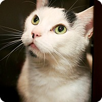 Adopt A Pet :: Patches *Petsmart* - Appleton, WI