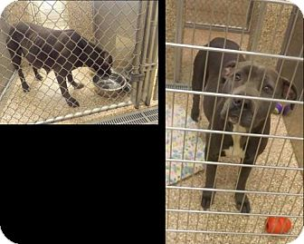 Pit Bull Terrier Dog for adoption in Martinsburg, West Virginia - Dixie needs Rescue!