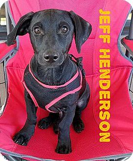 Dachshund Puppy for adoption in San Antonio, Texas - Olympian Jeff Henderson