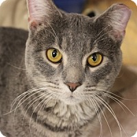 Domestic Shorthair Cat for adoption in Naperville, Illinois - River