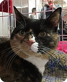 Domestic Shorthair Cat for adoption in Philadelphia, Pennsylvania - BEAUTY!