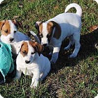 Jack Russell Terrier/Australian Shepherd Mix Puppy for adoption in Newport, Kentucky - Bernard