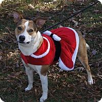 Adopt A Pet :: Sweet Jersey ~ DOB 5/29/2015! - Brattleboro, VT